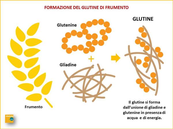 formazione del glutine