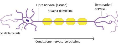 tessuto-nervoso