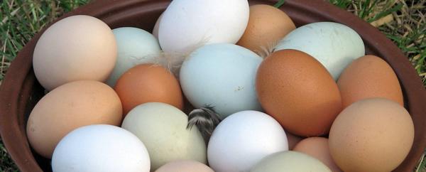 le uova pendono durante lerezione